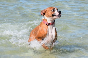 Boxer having fun at the beach in Bonita Springs